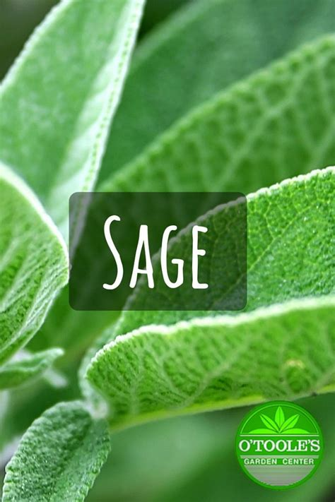 sage   perennial plant  grows   feet tall
