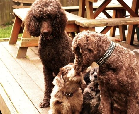 doodle downs labradoodles 17 best images about labradoodle grooming pins on