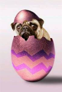 happy easter pug easter pug pictures