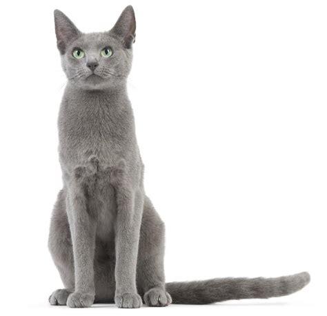 Royal Blue Cats gato azul ruso