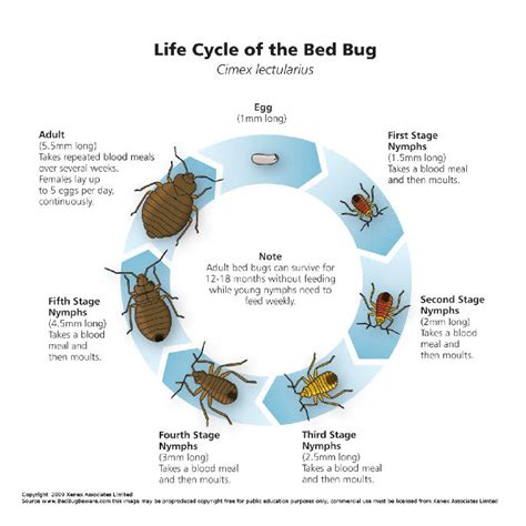 bed bug life span teaching in a digital world sabine s study journey