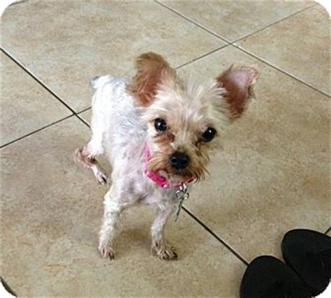 yorkie rescue miami coco chanel adopted miami fl yorkie terrier