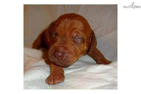 rhodesian ridgeback puppies for sale california rhodesian ridgeback puppies for sale in california and design bild