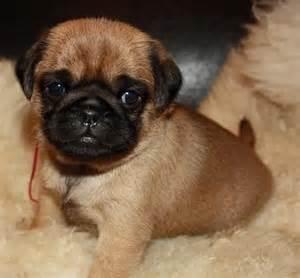 apricot pug puppies apricot pug puppy destiny s pug world