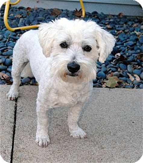 dogs for adoption in nebraska ben pending adoption adopted omaha ne coton de tulear