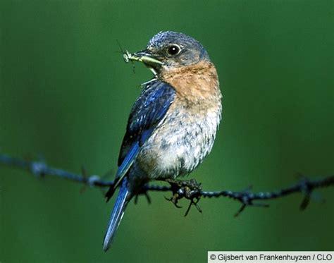 general information on the eastern bluebird sialias sialia