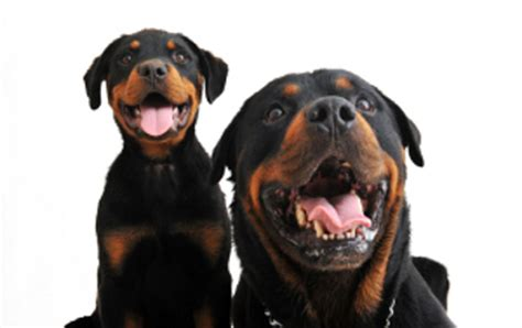 rottweiler shedding your guide to rottweiler grooming a of rottweilers
