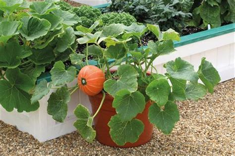 fiori di zucca coltivazione coltivare zucca in giardino e in vaso garden4us