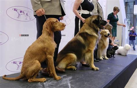 american kennel club dog breeds 2 new dog breeds allowed to compete in westminster kennel