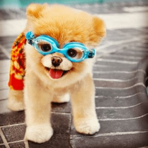 the pomeranian boo 9 of the most popular dogs you need to be following