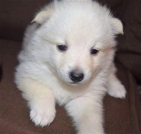 pomeranian husky minnesota view ad pomeranian siberian husky mix puppy for sale minnesota mankato