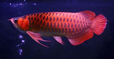 Daftar Bibit Ikan Arwana kicau alam daftar harga burung terbaru 2015