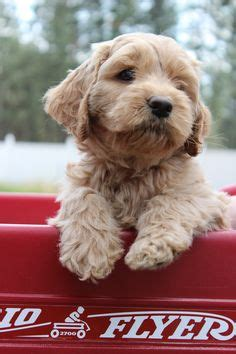 country doodle dogs indiana australian labradoodles australian labradoodle puppies