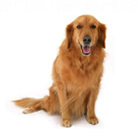average age for a golden retriever topic get a mgtow