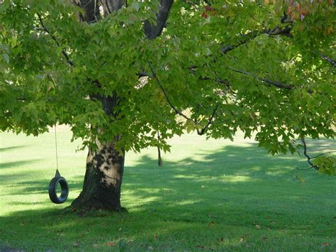 tree with tire swing free tire swing on maple tree stock photo freeimages com