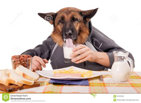 dog only eats from hand funny german shepherd dog with human arms and hands