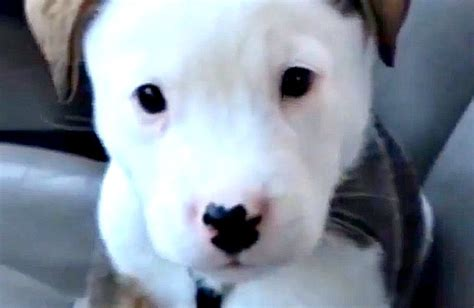 how to get rid of puppy hiccups tiny puppy barks at his hiccups to scare them away