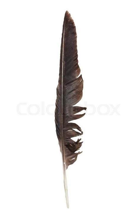 feather template for raven hat 1 print 2 cut out crow feather on a white background stock photo colourbox