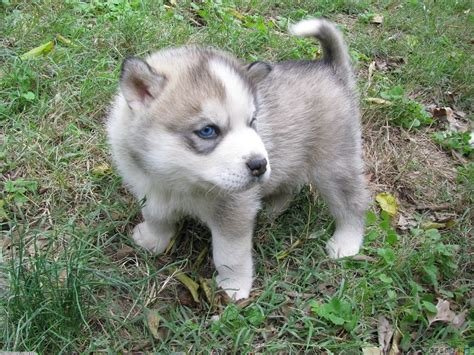wolf husky puppies with blue eyes gyazo wolf pups 2 jpg animals pets pinterest
