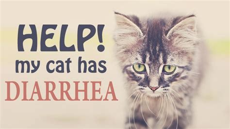 my has diarrhea what can i do cat diarrhea with best picture collections
