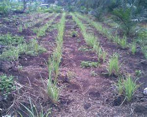 Bibit Serai jual bibit serai jual bibit tanaman dan jasa pembuatan taman
