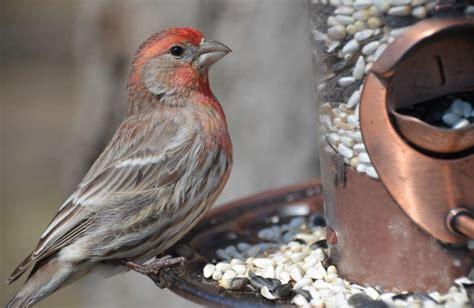 house finch bird feeder birdcage design ideas