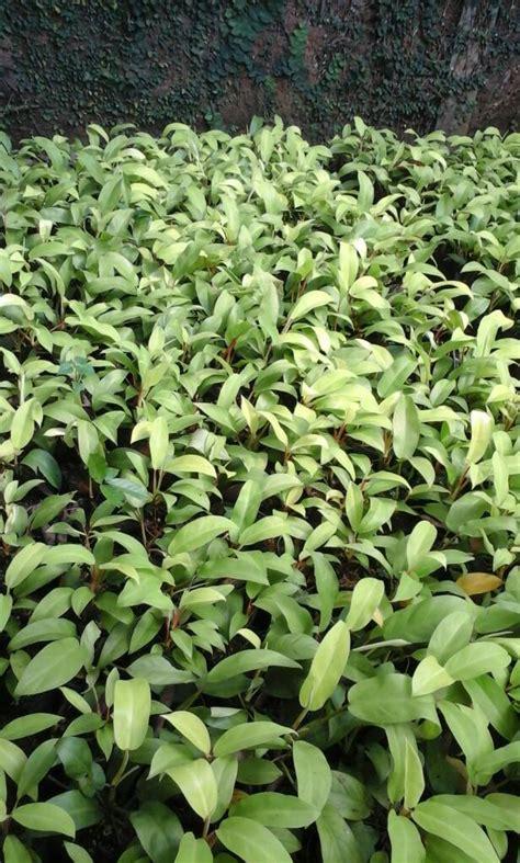 jual jual tanaman pohon sirih gading centong hari flora