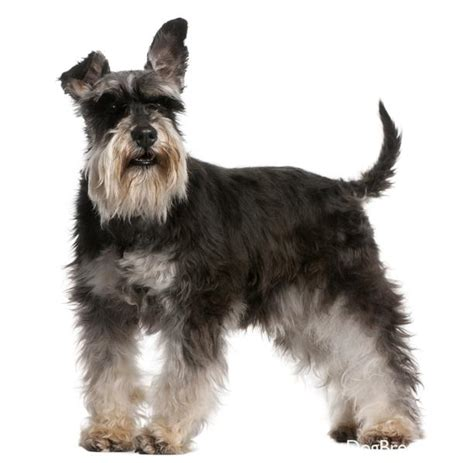miniature schnauzer dog breed miniature schnauzer9 jpg miniature schnauzer dog breeds