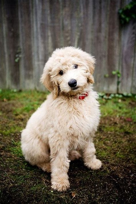 Goldendoodle Shed by Labradoodle Puppies Puppys And On