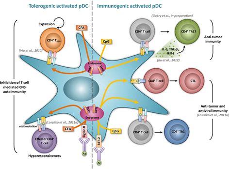 frontiers tolerogenic dendritic cells for frontiers tolerogenic and activatory plasmacytoid