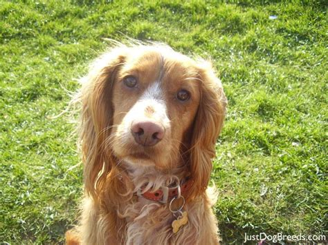 spaniel breeds breeds of spaniels pictures breeds picture