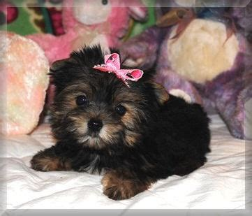 teacup yorkies for sale in albany ny akc tea cup yorkies yorkie puppies for sale