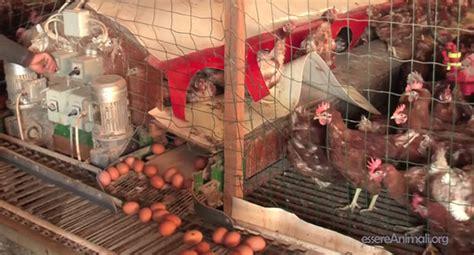 galline allevate in gabbia esselunga niente uova da galline allevate in gabbia ma