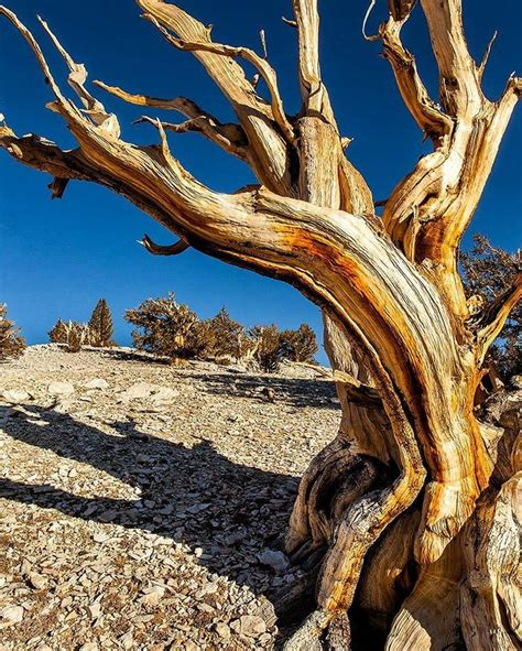 bristlecone pine tree california mystic 1000 ideas about bristlecone pine on trees