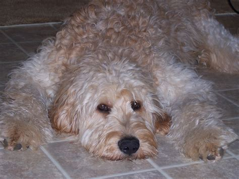 goldendoodle puppies for sale f1b goldendoodle puppy puppies for sale in pa
