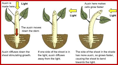 a substance that causes sensitivity to light physiology of plant movements
