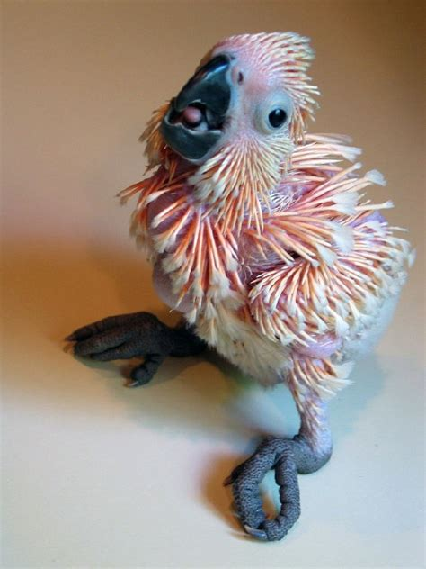 moluccan cockatoo baby ok so he s not a feathered