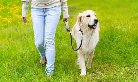 how to your to walk on a lead leash your golden retriever for no more pulling