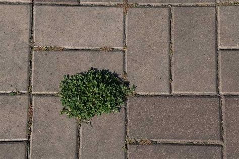 Patio Pavers Weeds How To Prevent Growth Between Pavers Viking
