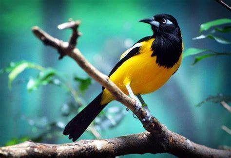 turpial ave nacional venezuela apexwallpapers com el turpial es el ave nacional de venezuela