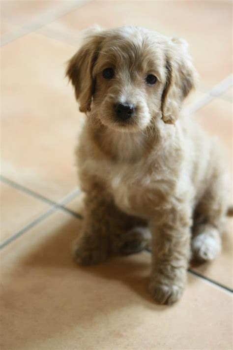 cockapoo puppy cockapoo archives for flowers