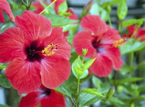 Pflanzen Pflanzen by Hibiskus Pflanzen Bei Eibisch Anf 228 Ngerfehler Vermeiden