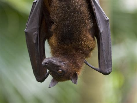 a fruit bat fruit bat bat facts and information