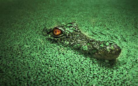 wallpaper krokodil crocodile hd animals 4k wallpapers images backgrounds