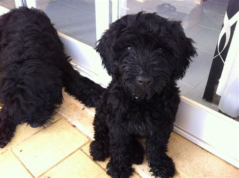 portuguese water dogs kc registered portuguese water pups glasgow lanarkshire pets4homes