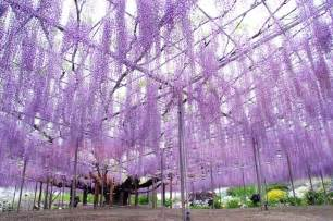 the most beautiful wisteria tree in the world my modern met