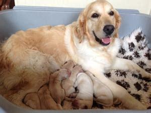 golden retriever puppies auckland pedigree kc registered golden retriever puppies in bishop