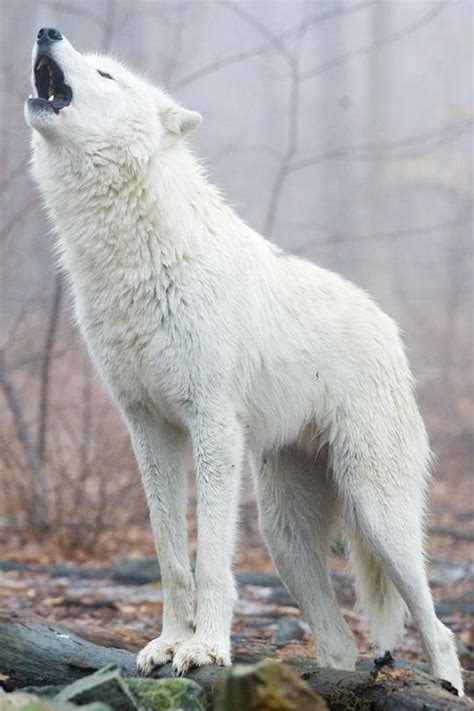 9 best images about wolf 25 best ideas about white wolves on pinterest wolf black and white wolves in love and blue