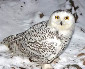 Backyard Farm Animals The Snowy Owl Blueridgecountry Com