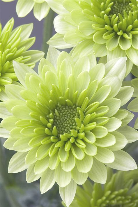 mums flower chrysanthemum flower chrysanth 232 me